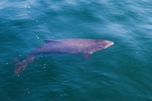 Hai-Delfin
